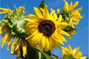 Slunečnice Fibonacci