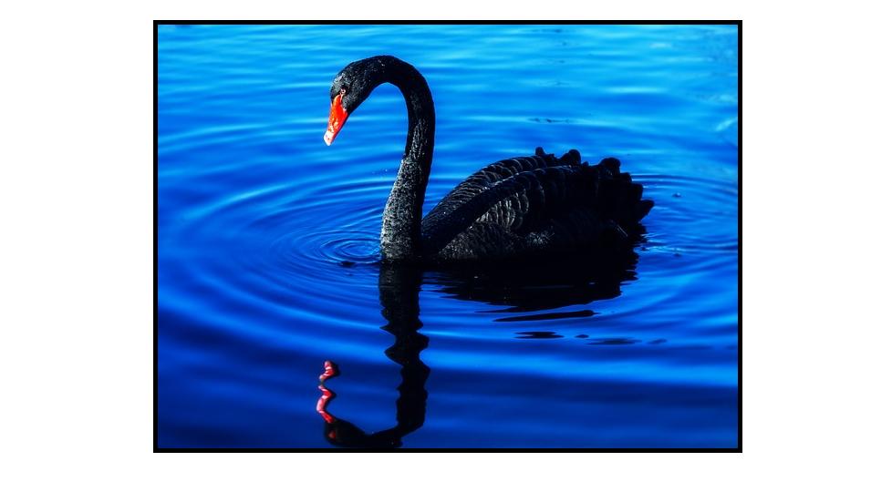 černá labuť trhy burza