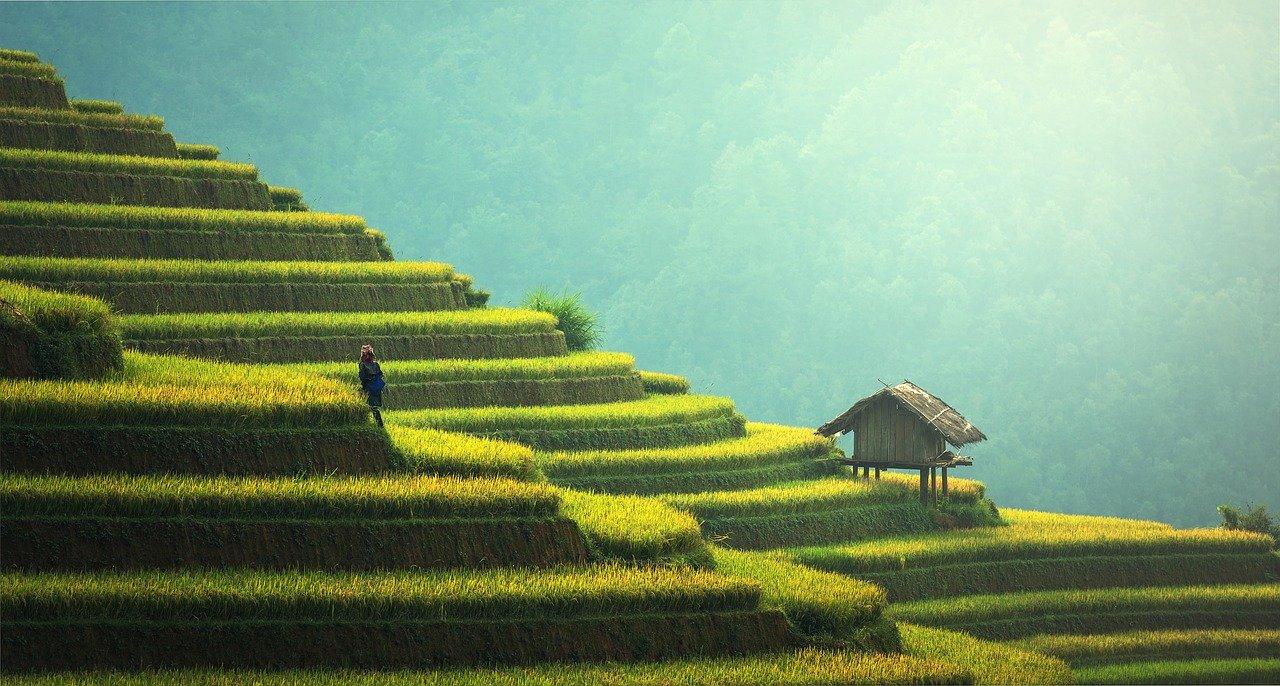 pěstování rýže