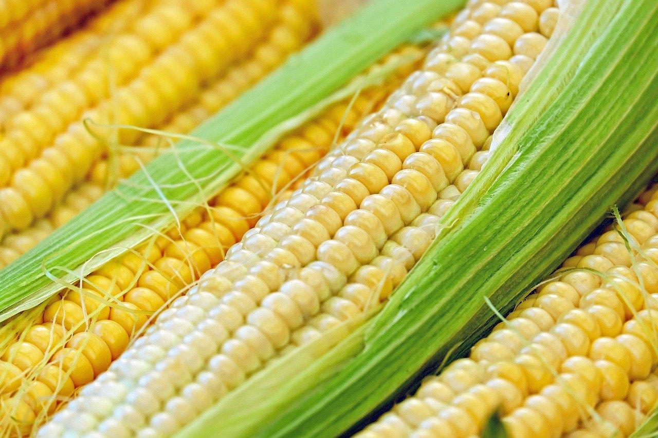 kukuřice na burze