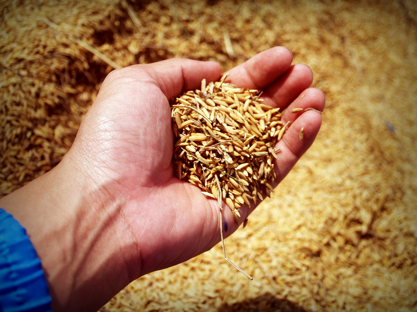 Pšenice základní informace