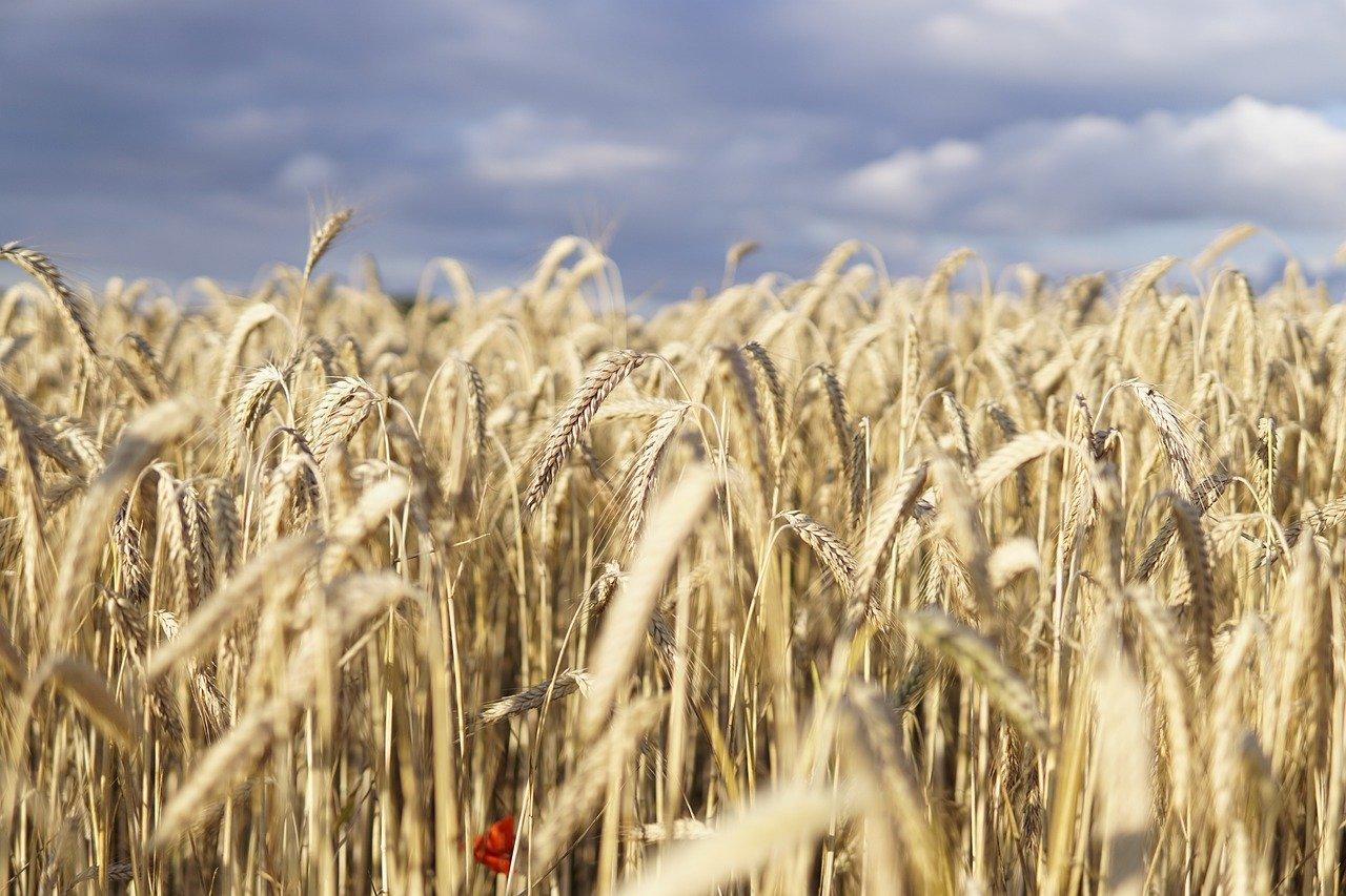 Pšenice na burze