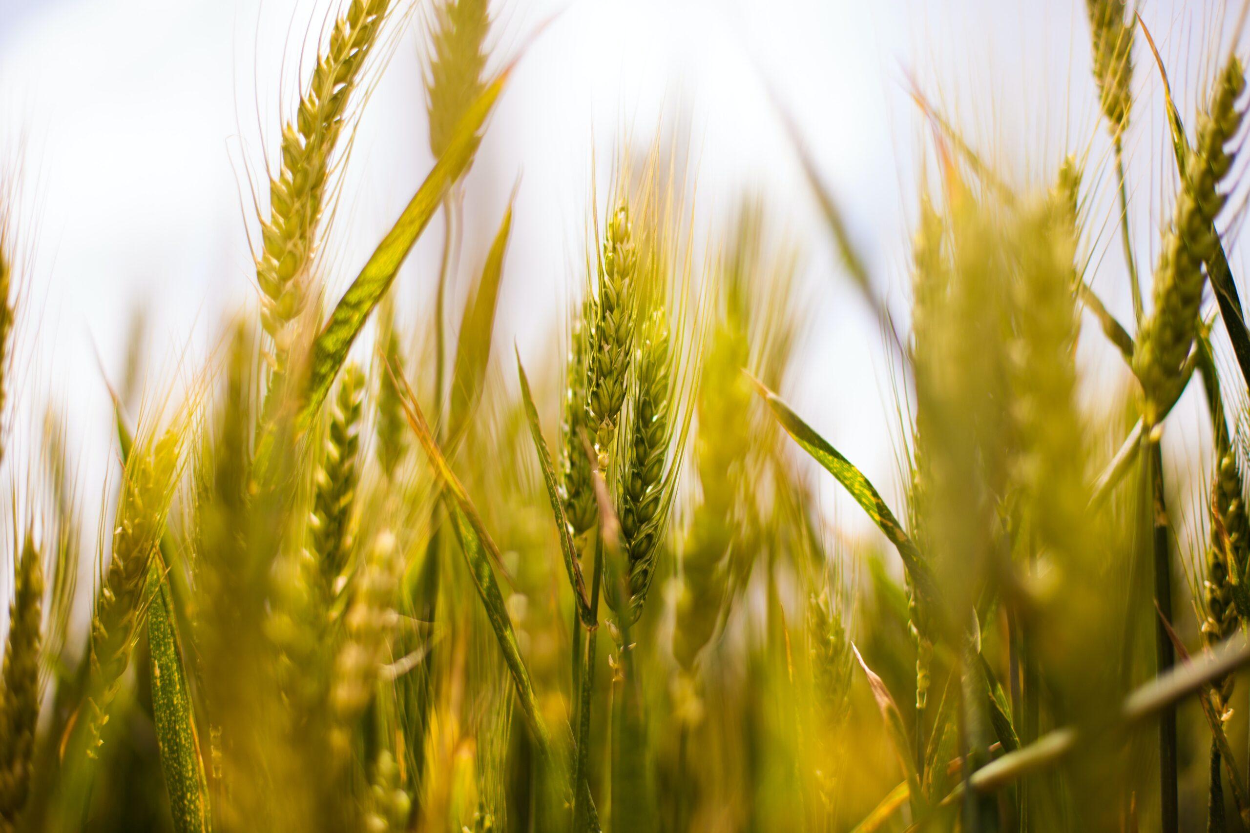 Pšenice charakteristika